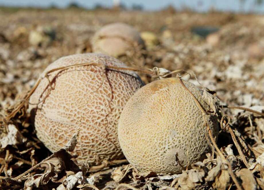Cantaloupes from a field in Colorado last October was the likely source for the deadliest outbreak of foodborne illness in 25 years. President Barack Obama's budget would eliminate the only program that regularly tests fruits and vegetables. Photo: Ed Andrieski / AP2011