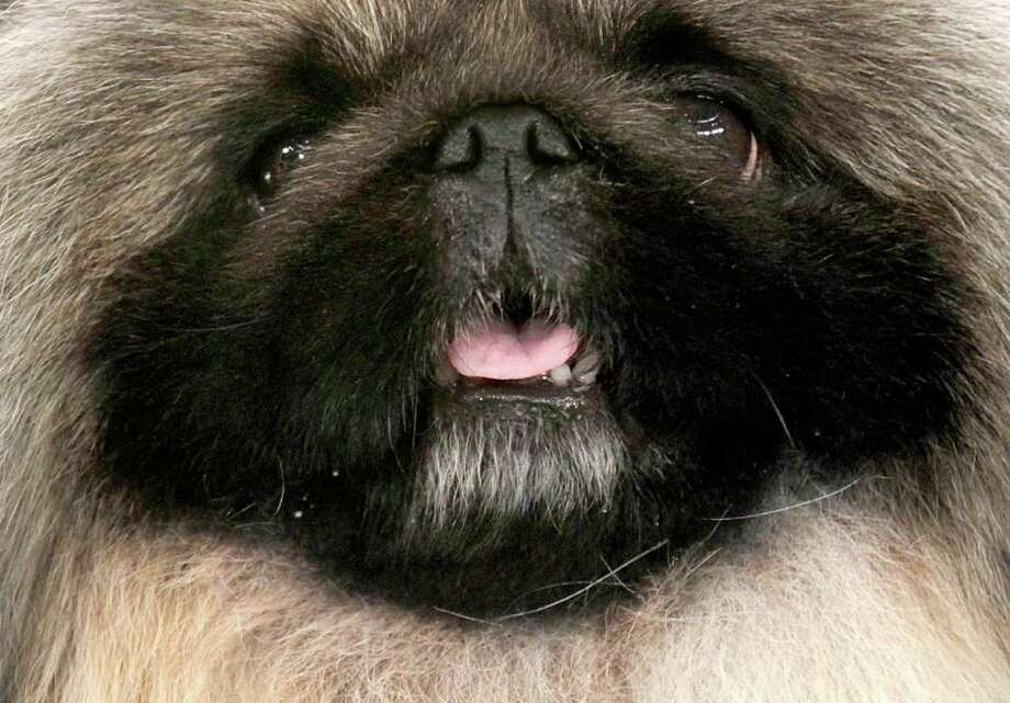 Malachy, a Pekingese, poses after being named best in show at the Westminster Kennel Club Dog Show. Photo: Seth Wenig / AP