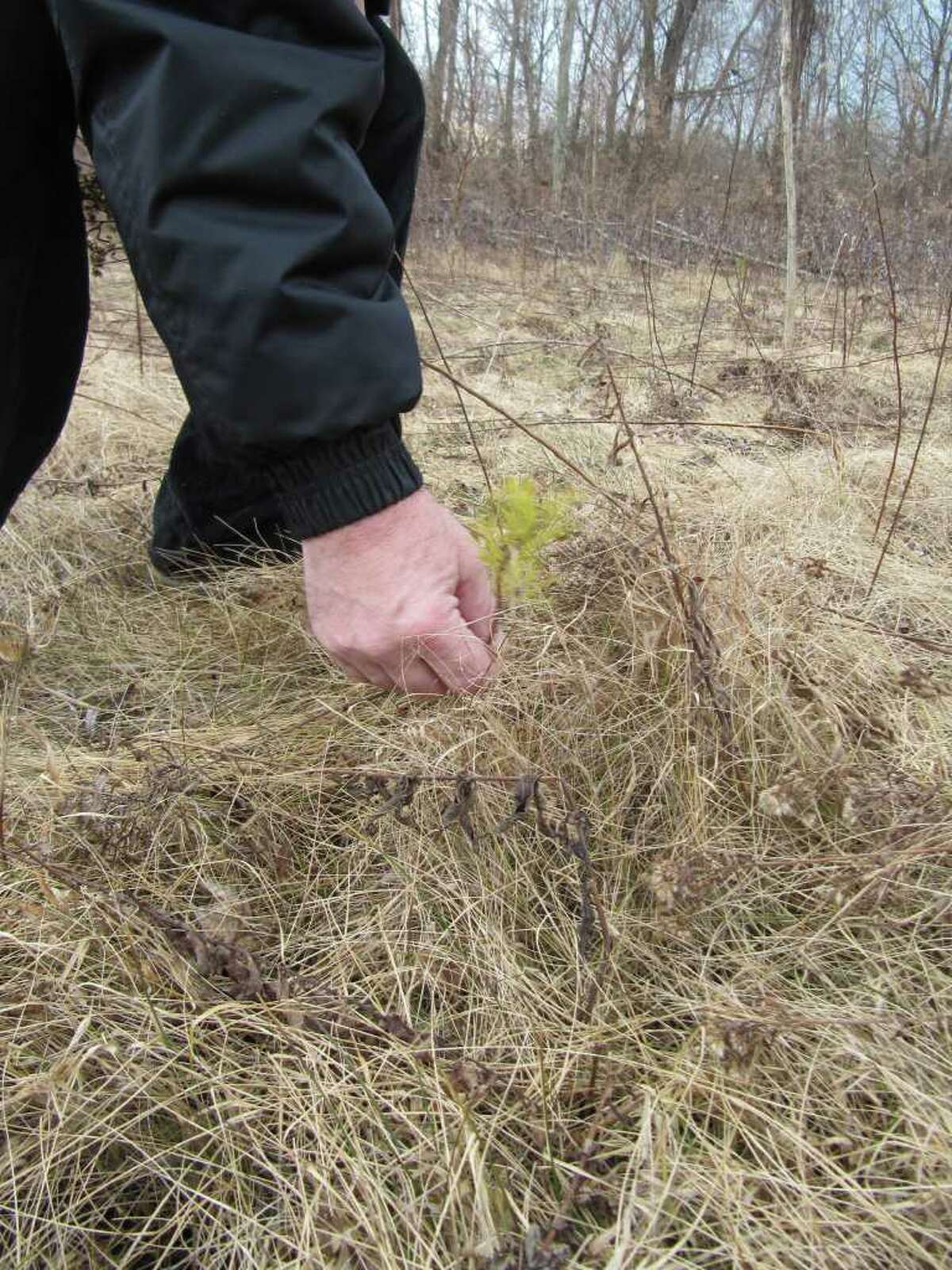 Gillian Scott/Times Union Schenectady City and County Historian Don Rittner shows one of the pitch pine seedlings planted last year at the Woodlawn Pine Bush Preserve in Schenectady.