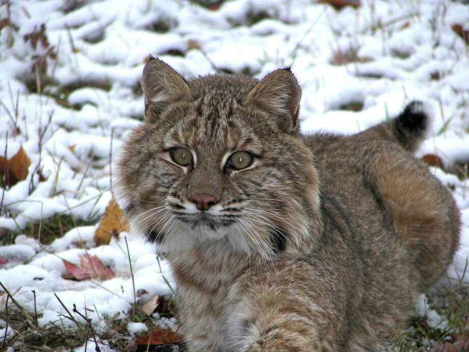 Bobcat numbers are on the upswing in New York and the state is proposing opening up more areas to hunting and trapping of the felines. /  Scott Smith, NYSDEC