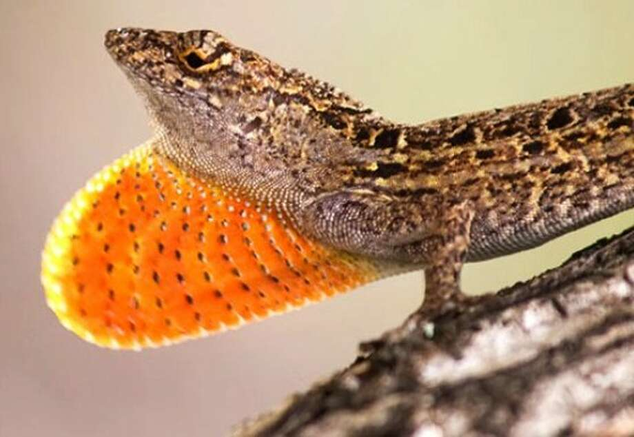 A  brown anole lizard Photo: Manuel Leal, Duke University