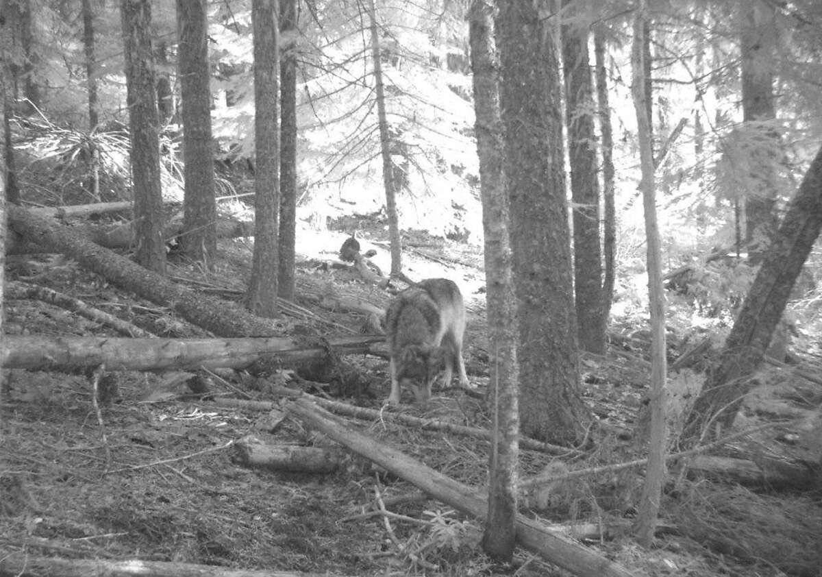 FILE -This Nov. 14, 2011 file photo from a trail camera appears to show OR-7, the young male wolf that has wandered hundreds of miles across Oregon and Northern California looking for a mate and a new home. The Oregon House votes Friday on a bill that would allow state officials to kill two wolves blamed for killing livestock.(AP Photo/Allen Daniels via The Medford Mail Tribune, File)