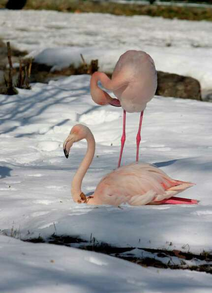 A flamingo sits on snow as another one stands behind at a zoo in Ankara, Turkey, Sunday, Feb. 19, 20