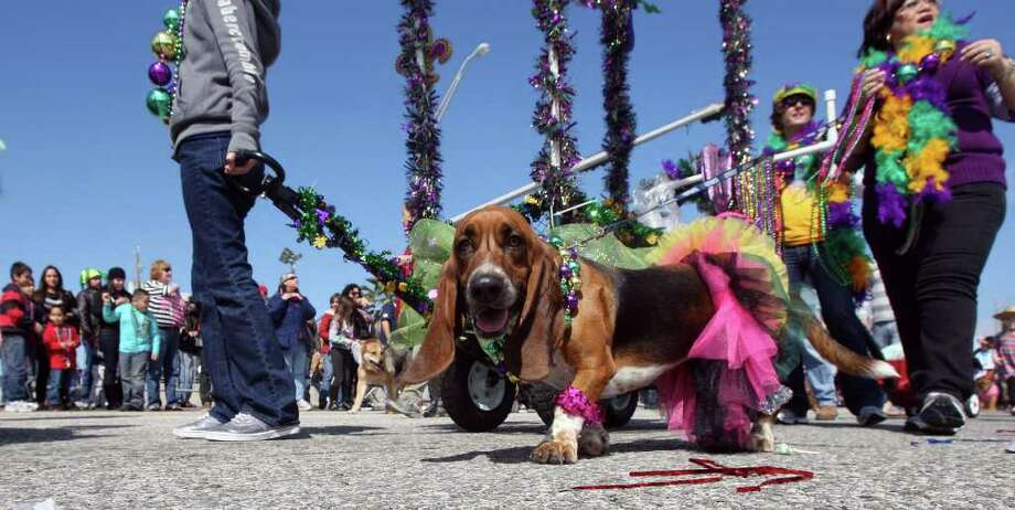 Canines of all sizes strut their stuff along Seawall Boulevard on Sunday in the Krewe of Barkus & Meoux Parade at Mardi Gras! Galveston. Photo: James Nielsen / © 2011 Houston Chronicle