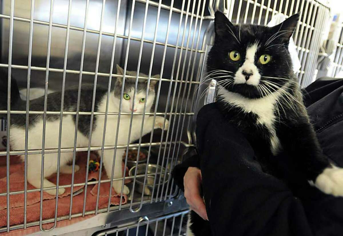 Two of over 400 cats rescued from Wyoming County SPCA at the Mohawk Hudson Humane Society Monday, Feb. 20, 2012 in Menands, N.Y. The Mohawk Hudson Humane Society was able to take in 30 of the rescued cats. (Lori Van Buren / Times Union)