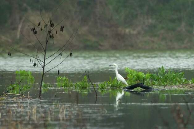 A snowy egret is a familiar sight in the High Island area. The Audubon Society already has pumped 4 million gallons of fresh water into Clay Bottom Pond. Photo: Brett Coomer / © 2012 Houston Chronicle