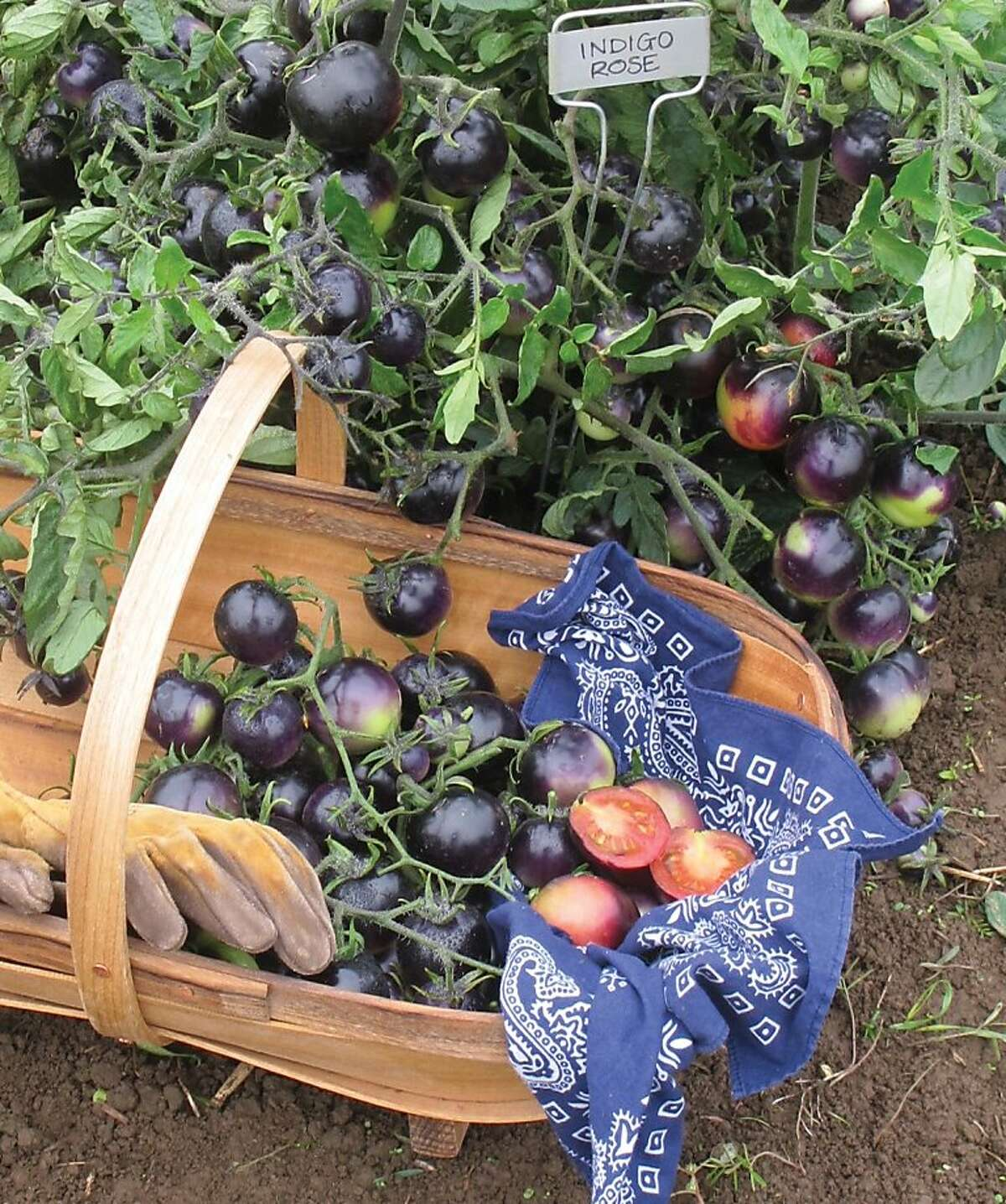 Indigo Rose is a purple-skin tomato that bears fruit in clusters. Photo