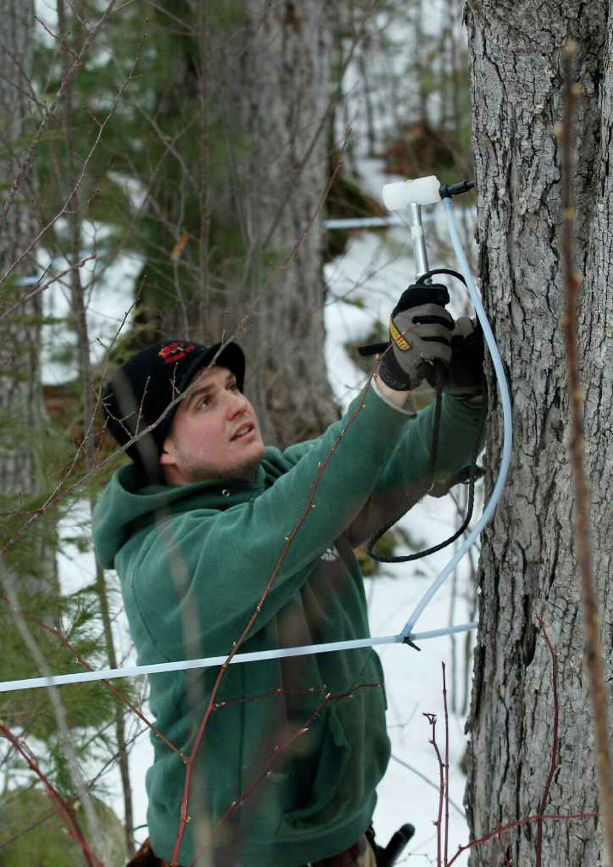 In this Feb. 14, 2012 photo, Ben Fisk hammers a tap and collection tube into the trunk of a maple tree at a timber stand in Newbury, N.H. An unusually mild winter across much of the Northeast has raised some concerns about whether the maple syrup crop is in danger. (AP Photo/Charles Krupa)