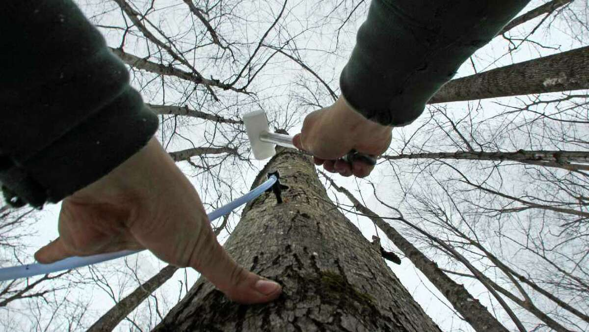 In this Feb. 14, 2012 photo, Ben Fisk hammers a tap and collection tube into the trunk of a maple tree at a timber stand in Newbury, N.H. An unusually mild winter across much of the Northeast has raised some concerns about whether the maple syrup crop is in danger.(AP Photo/Charles Krupa)