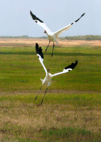 Flying to their next feeding site, this pair of whooping cranes are among the majestic birds available for viewing at the area near the Aransas Wildlife Refuge as part of the 16th annual Port Aransas Whooping Crane Festival that is the largest event of its kind showcasing the endangered cranes. Photo Courtesy of the Port Aransas Chamber of Commerce & Visitors Bureau Photo: COURTESY OF THE PORT ARANSAS CHA