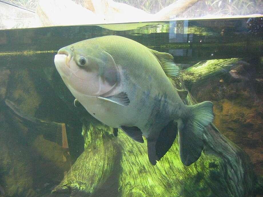 A pacu fish.