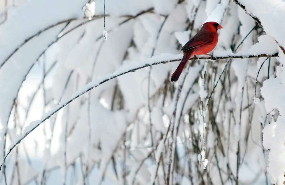 A cardinal pauses on a snow-covered branch in Vinton, Va. Virginia came in fifth in the survey.