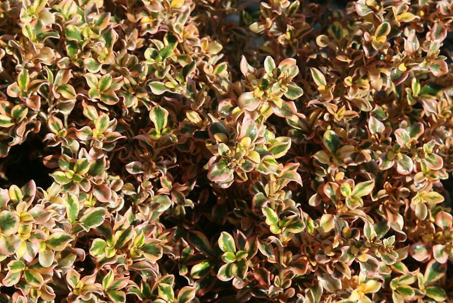 Coprosma repens Photo: San Marcos Growers