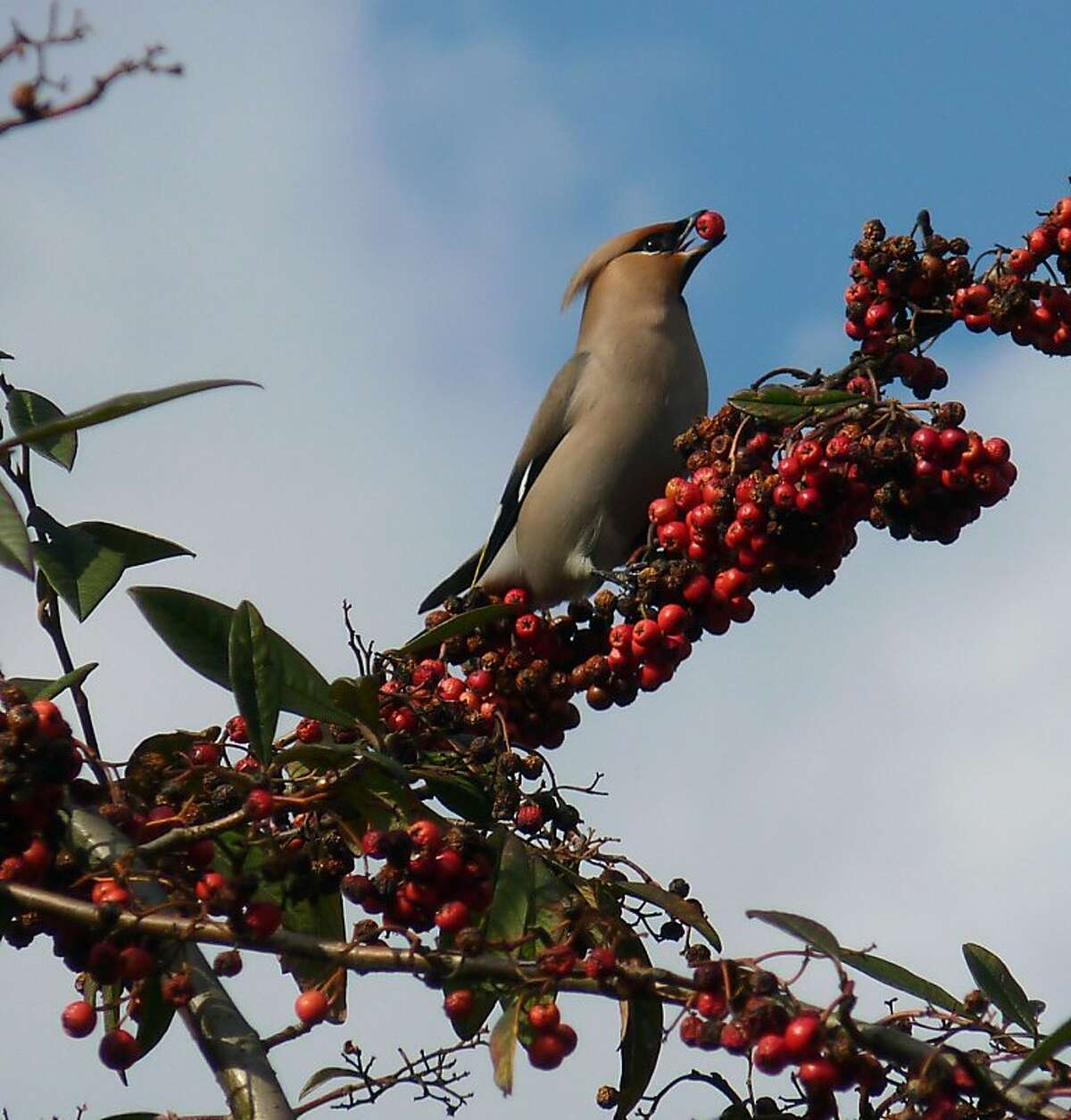 Bohemian waxwing, a California winter visitor, feeding on nonnative cotoneaster berries.