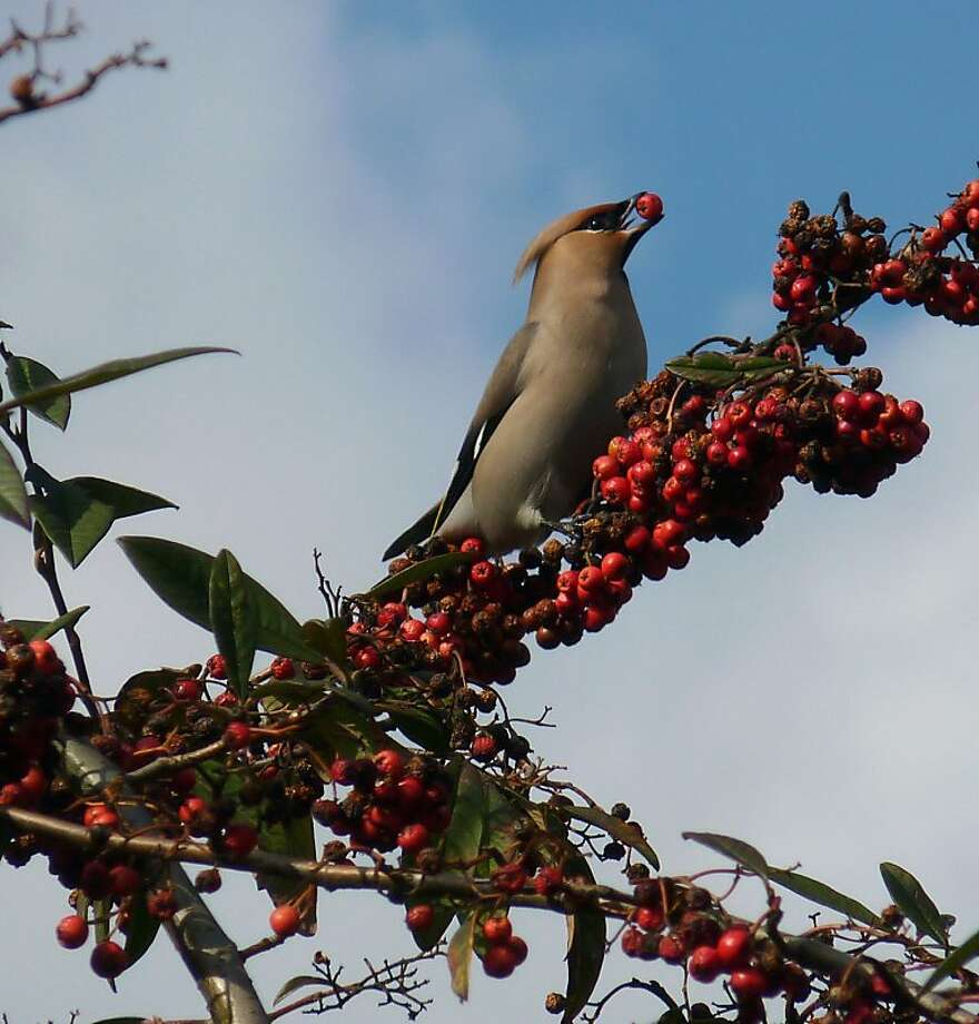 Bohemian waxwing, a California winter visitor, feeding on nonnative cotoneaster berries. Photo: Richard Hall