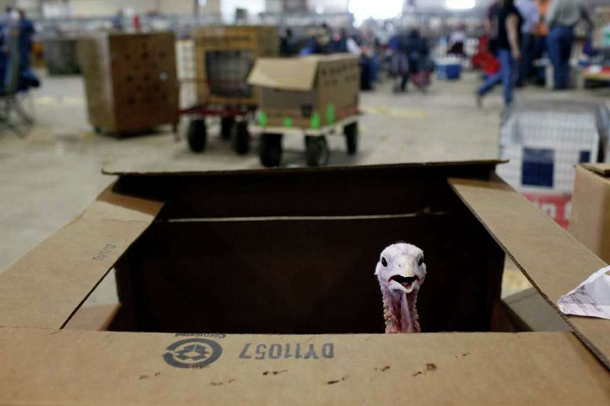 Turkey in the straw? No, a bird belonging to competitor Edward Scamardo, 12, of Mumford is in a cardboard box while waiting for its turn to be judged at the San Antonio Stock Show & Rodeo on Wednesday, Feb. 22, 2012.