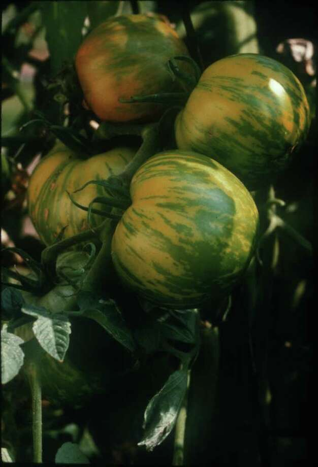 It 39 S Tomato Time Drop By Master Gardener Sale Houston Chronicle