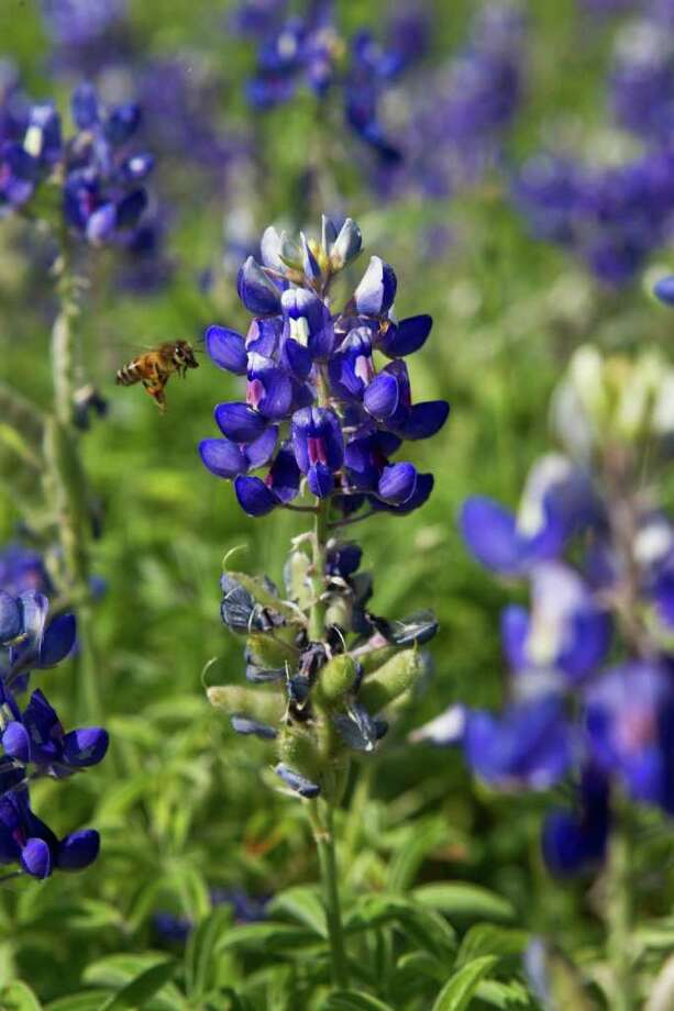 Late fall and winter rains could make for a colorful bluebonnet season. Photo: Melissa Phillip / Houston Chronicle