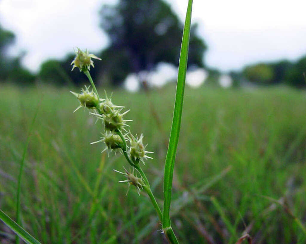 a preemergent herbicide can prevent summer weeds such as sandburs above and - Preemergent Herbicide