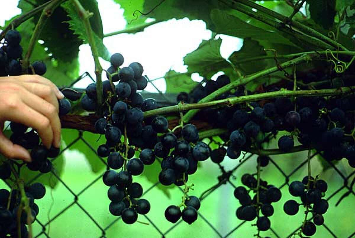 'Champanel' grapes are reliable producers.