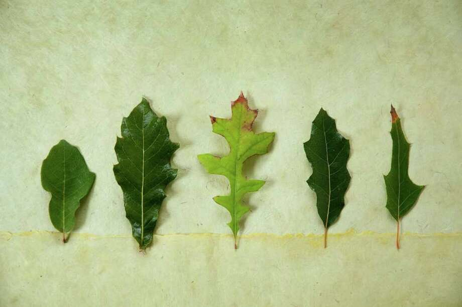 Leaves from great oaks for our area: from left, Monterrey or Mexican white oak, loquat leaf oak, nuttall oak, evergreen Chisos oak and canbyi oak. Photo: Don Glentzer