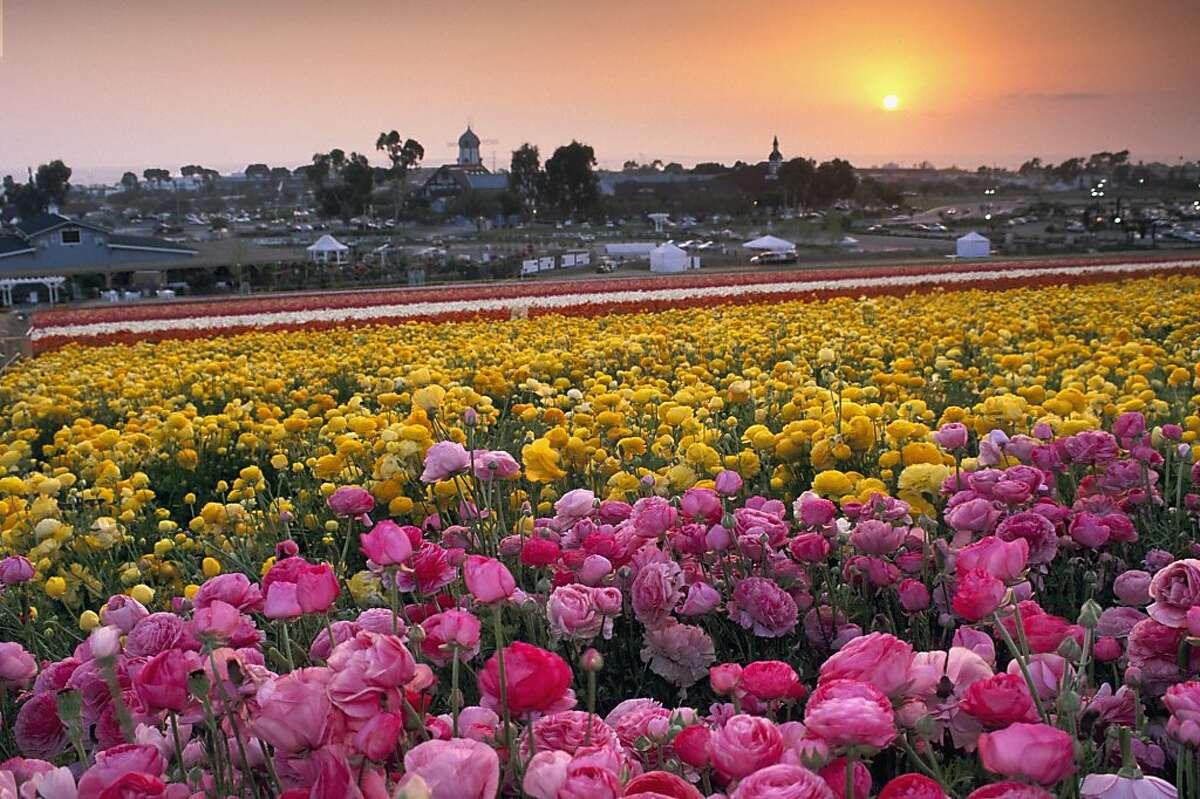 Carlsbad Flower Fields.