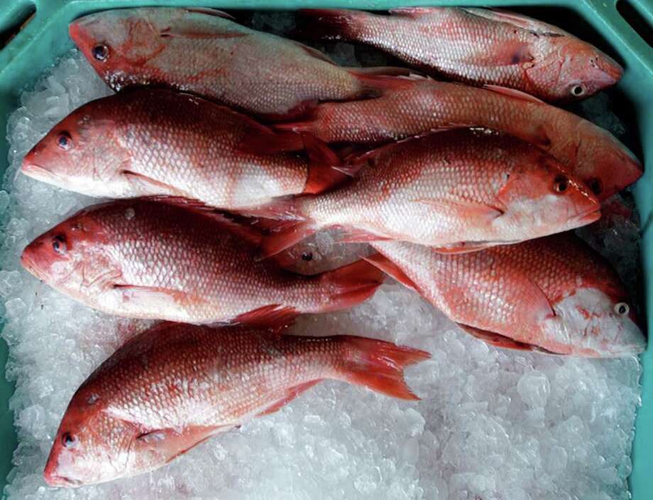 While the annual quota of Gulf red snapper will increase for 2012, the length of the season likely will be shorter as a way to keep the red-snapper rebuilding program on track since last season's production was higher than expected. Photo: Charles Trainor Jr / Miami Herald