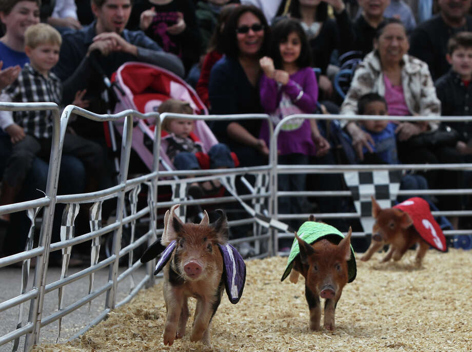 Pigs delight the crowd Sunday February 26, 2012 during the Swifty Swine pig races at the San Antonio Stock Show & Rodeo. Sunday is the last day of the 2012 San Antonio Stock Show & Rodeo. John Davenport/San Antonio Express-News Photo: JOHN DAVENPORT, SAN ANTONIO EXPRESS-NEWS / SAN ANTONIO EXPRESS-NEWS (Photo can be sold to the public)