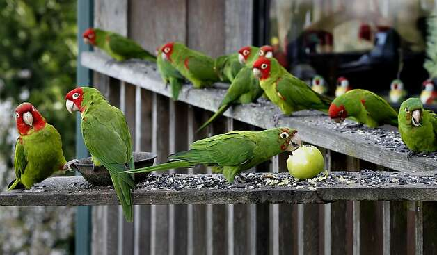 Parrots stop for some seed and apple at the home of Joe Sulley in the Brisbane hills. The wild parrots of Telegraph Hill (San Francisco) have moved onto the suburbs. Brisbane, Calif. residents have been seeing flocks of parrots visiting hillsides, oak trees and a few neighbors who leave seed out. Photo: Brant Ward, The Chronicle