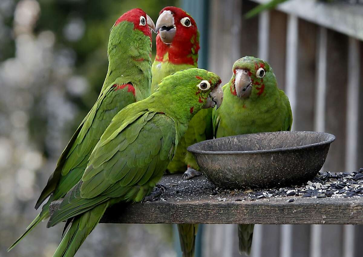 The parrots visit the home of Joe Sulley a couple times a day for seed. The wild parrots of Telegraph Hill (San Francisco) have moved onto the suburbs. Brisbane, Calif. residents have been seeing flocks of parrots visiting hillsides, oak trees and a few neighbors who leave seed out.
