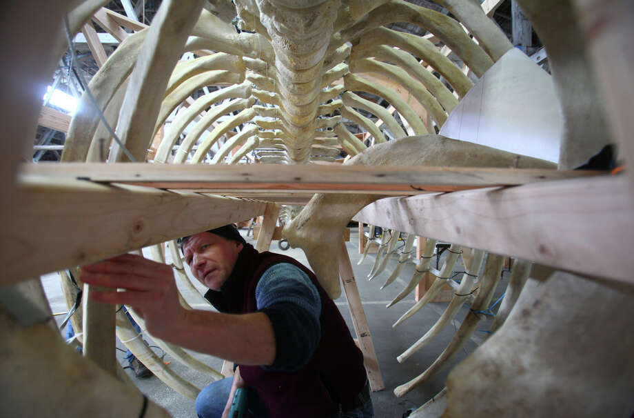 Andrey Apakov, a student in Highline Community College's Marine Science and Technology Center program, assembles rib bones in the belly of a whale skeleton at the Foss Waterway Seaport in Tacoma on Wednesday February 10, 2012. The whale died on Arroyo Beach in West Seattle in April of 2010 and the 1,700 pound skeleton will be a centerpiece of an exhibit at the MaST center. Read more about the display and what was found in the belly of the ill-fated whale when it died in 2010. Photo: JOSHUA TRUJILLO / SEATTLEPI.COM