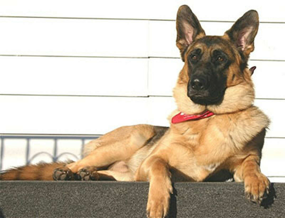 German Shepherd Personality: smart, confident and courageous