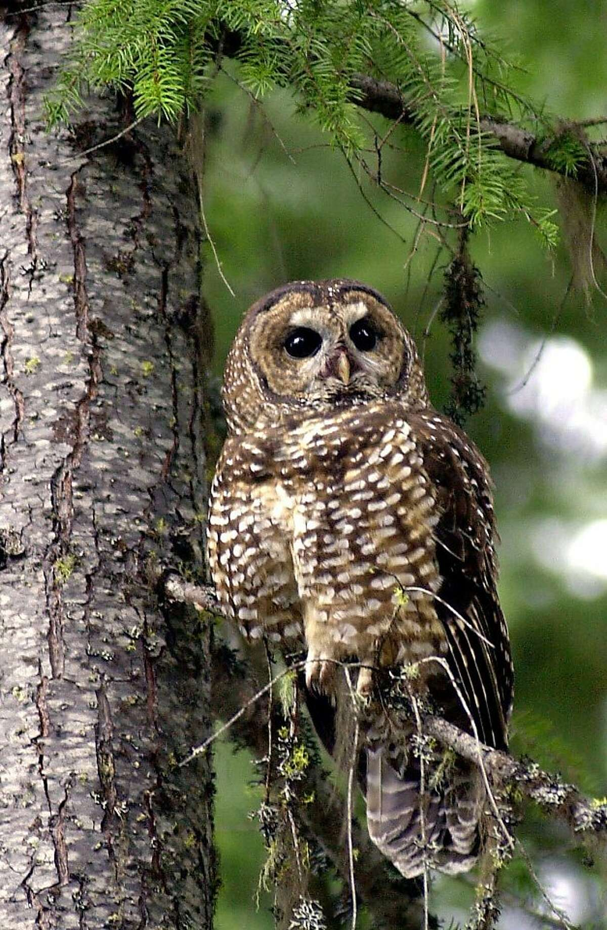 In this May 8, 2003 file photo, a northern spotted owl sits on a tree in the Deschutes National Forest near Camp Sherman, Ore. To save the endangered spotted owl, the Obama administration is moving forward with a plan to shoot barred owls, a rival bird that has shoved its smaller cousin aside. The plan is the latest government attempt to protect the northern spotted owl, the meek, one-pound bird that sparked an epic battle over logging in the Pacific Northwest two decades ago.