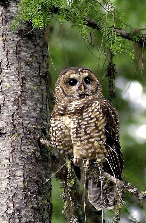 In this May 8, 2003 file photo, a northern spotted owl sits on a tree in the Deschutes National Forest near Camp Sherman, Ore. To save the endangered spotted owl, the Obama administration is moving forward with a plan to shoot barred owls, a rival bird that has shoved its smaller cousin aside. The plan is the latest government attempt to protect the northern spotted owl, the meek, one-pound bird that sparked an epic battle over logging in the Pacific Northwest two decades ago. Photo: Don Ryan, Associated Press