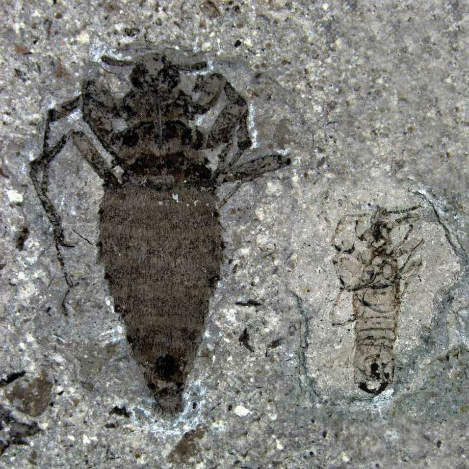 This undated handout photo provided by Nature shows a female, left, and male, right, fleas from the Middle Jurassic. In the Jurassic era, even the measly flea was a beast. It was a super-sized bloodsucker that feasted on dinosaurs with a saw-lie siphon. Photo: AP