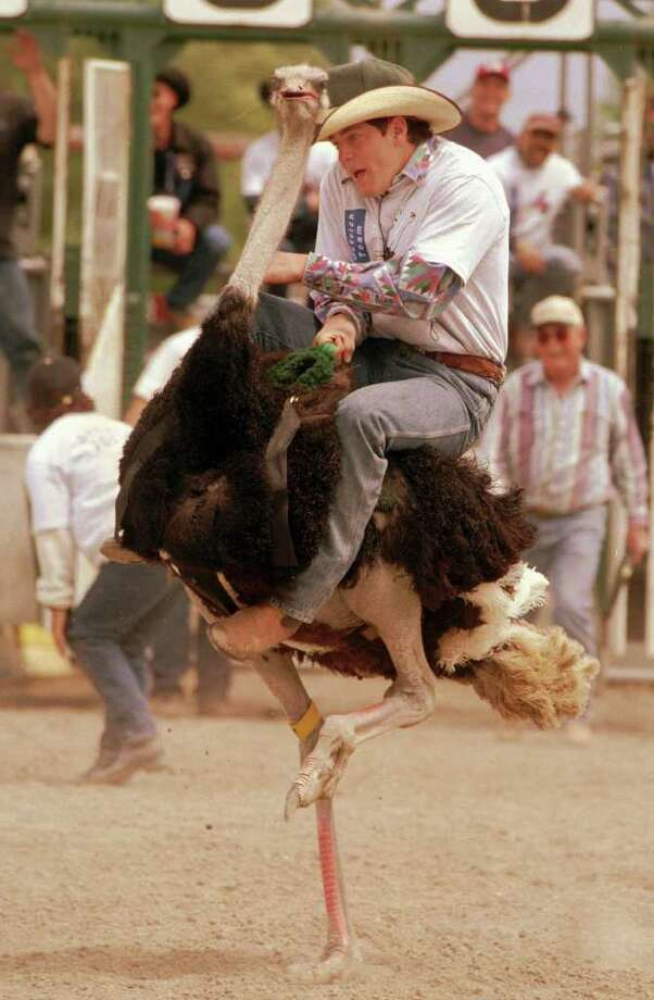 Ben Richmond struggles to maintain his grip while riding an adult male ostrich Saturday, May 29, 1999 during a race at the Flathead County Fairgrounds in Kalispell, Mont. Area ostrich ranchers organized the race to raise awareness of ostrich as an alternative and healthy meat source. (AP Photo/Daily Inter Lake, Robin Loznak) Photo: ROBIN LOZNAK / DAILY INTER LAKE