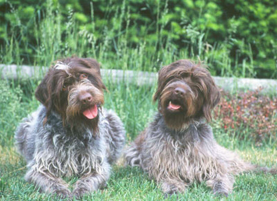 Wirehaired pointing Griffons are the least popular dogs in Houston, according to the AKC popularity ranking. Photo: American Kennel Club