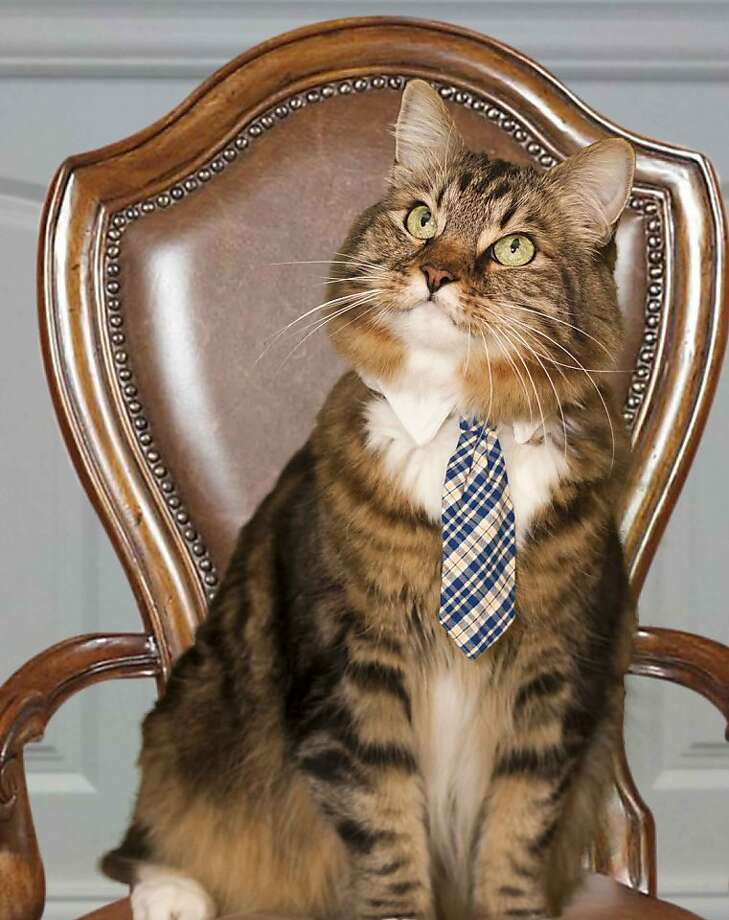 Another neutered male running for Senate: Hank, a cat in Springfield, Va., is seeking retiring Virginia Democrat James Webb's seat in the U.S. Senate. The Maine Coon, a moderate running as an independent, has created such a buzz, his campaign website crashed Photo: Dang N. Le, Associated Press