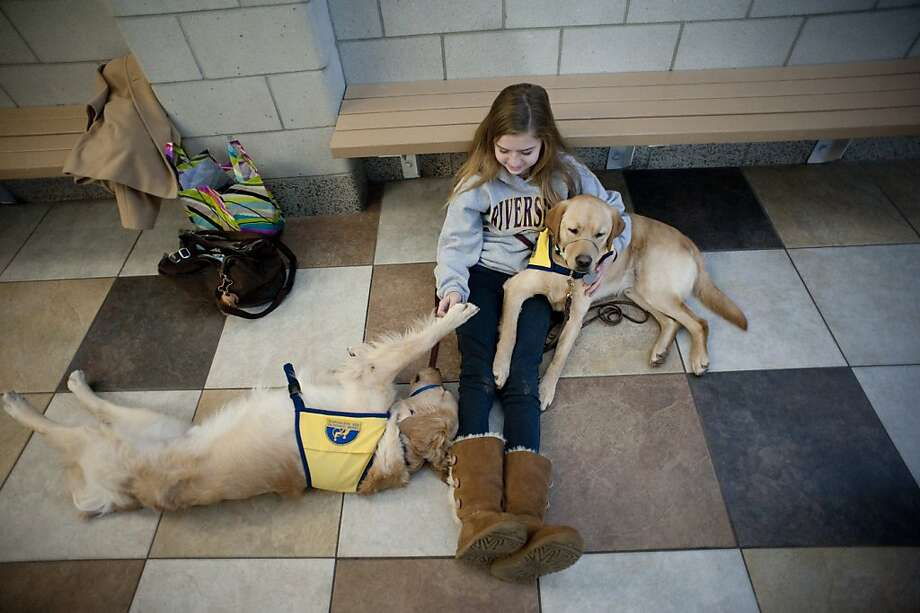 Hannah Wright of Fishers Ind., plays with Gerry, left, and Wolfgang at the Canine Companions for Independence graduation ceremonies in Dublin Ohio, Friday, Feb.  17, 2012.  (AP Photo/Tribune Review, Andrew Russell)  PITTSBURGH OUT Photo: Andrew Russell, Associated Press