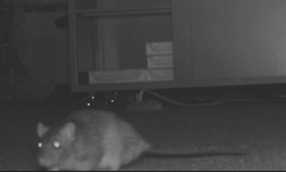 """This """"swamp rat"""" was photographed last week by a surveillance camera set up in the Fairfield Credit Union office in old Town Hall. Photo: Contributed Photo / Fairfield Citizen contributed"""