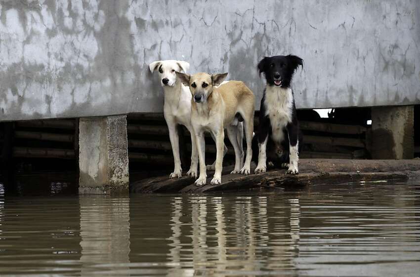 Three dogs stand atop wooden pieces on the edge of a flooded street in Jujan, along Ecuador's coast, Thursday March 1, 2012. Heavy rain is causing flooding and landslides and affecting hundreds of people. (AP Photo/Dolores Ochoa)