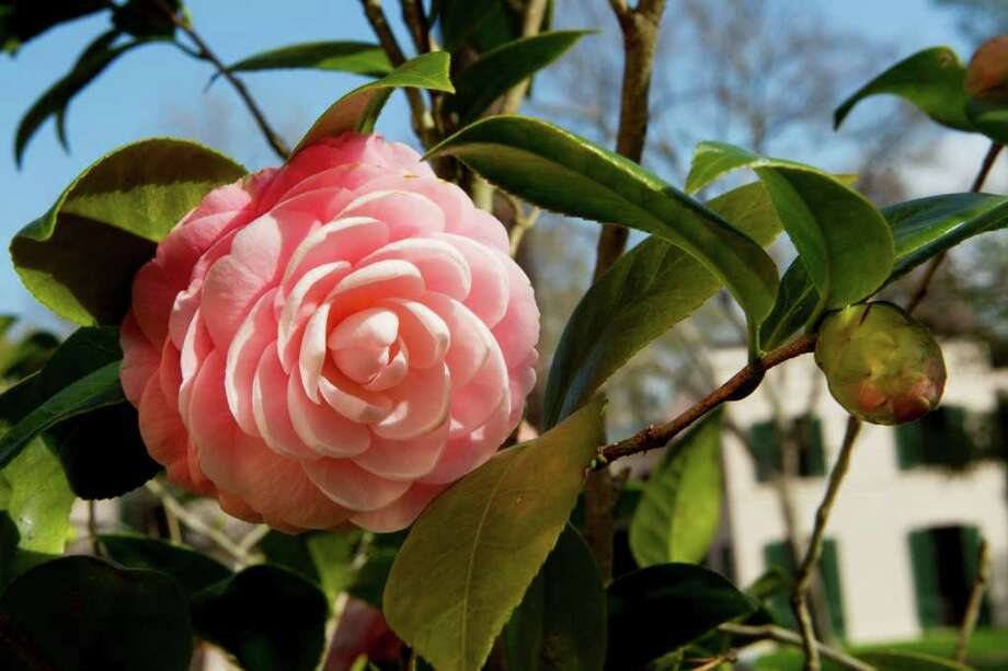 'Pink Perfection,' Miss Ima Hogg's favorite camellia, is flowering at Bayou Bend. Photo: Brett Coomer / © 2012 Houston Chronicle