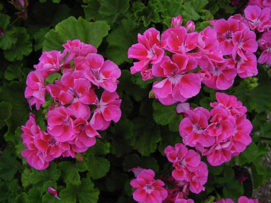 A container of geraniums thrives in a sunny spot this time of year. But it's best to move it to a shady area as the temperatures rise. Photo: Texas AgriLife Extension