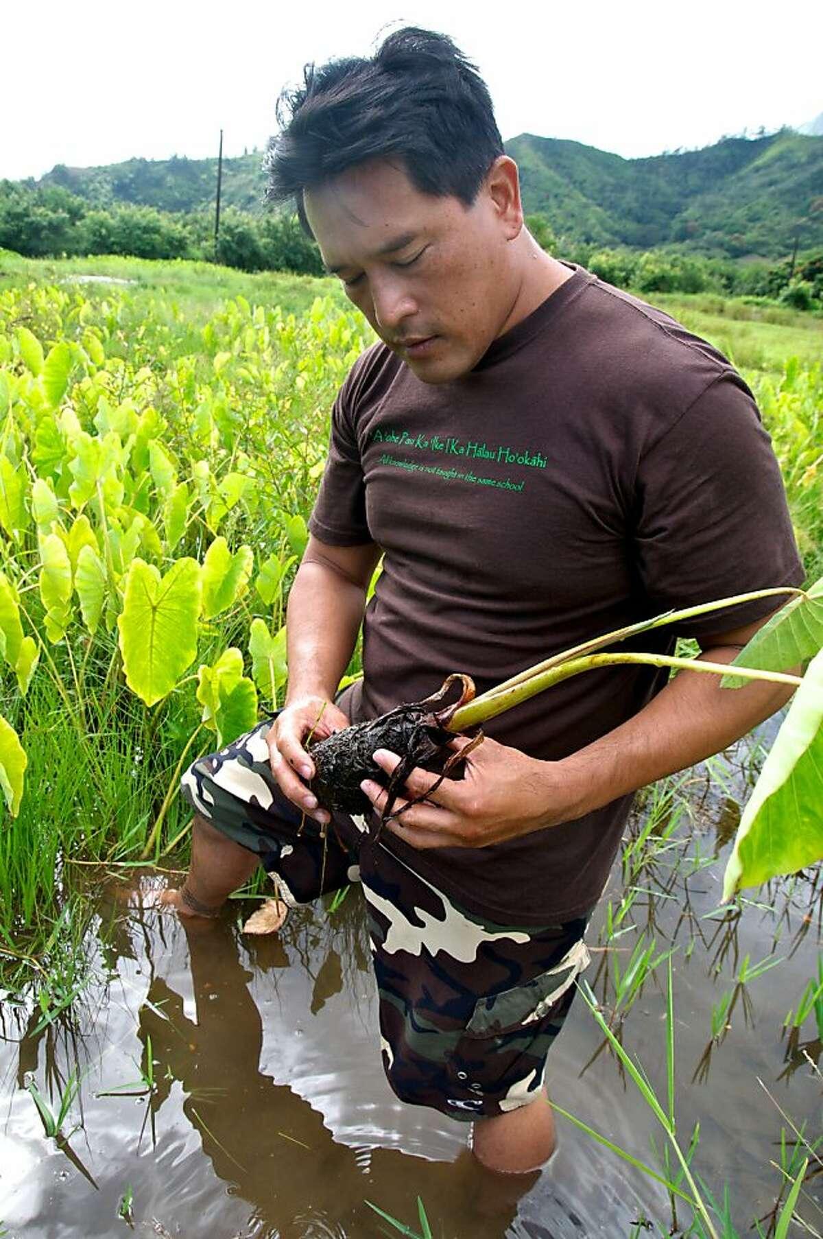Mason Chock of the Waipa Foundation holds a taro plant. Photo by John Flinn / Special to The Chronicle