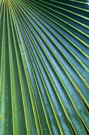 A native fan palm, the Loulu or Pritchardia limahuliensis. It is only found in Limahuli Valley.   Photo by John Flinn / Special to The Chronicle Photo: John Flinn