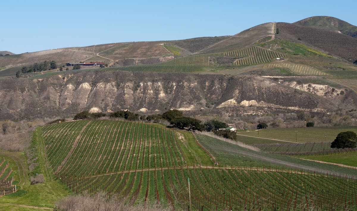 Sanford & Bennedict vineyards, above, in the Santa Rita Hills region between Lompoc and Buellton. Left: Pinot Noir vines at Sanford & Bennedict were planted on their own roots in 1971.