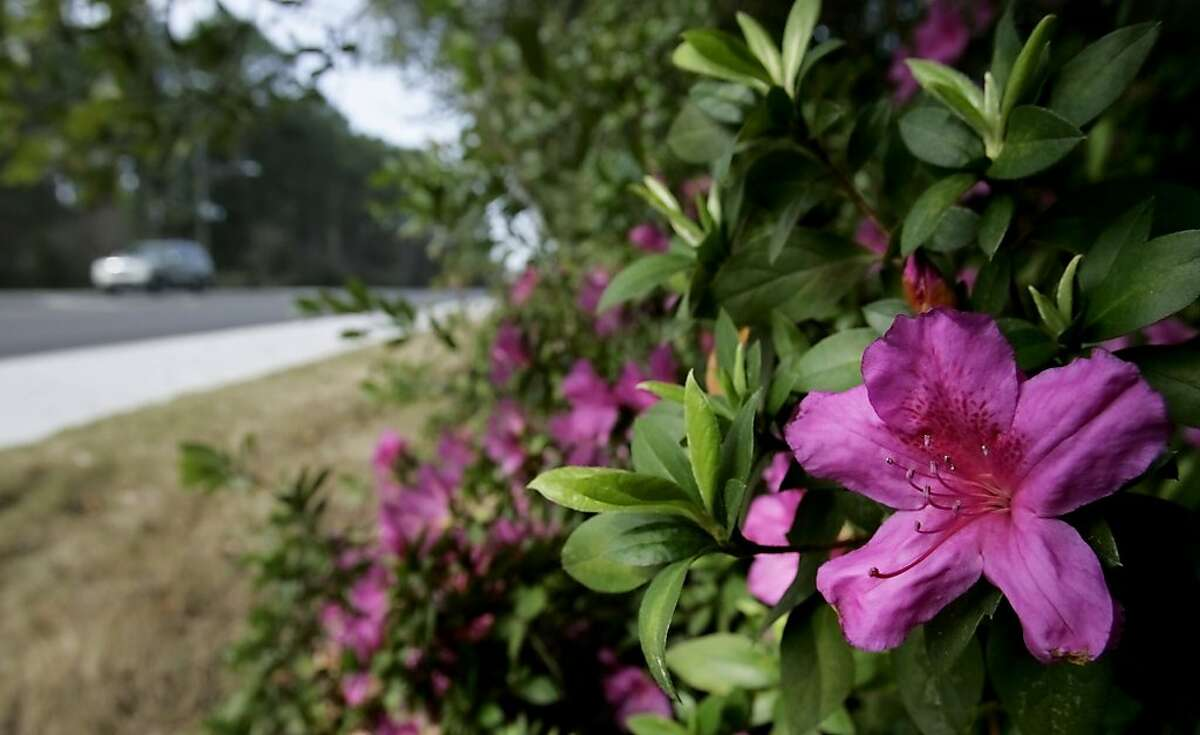 Apparently spring can't wait in the Florida Panhandle. Azaleas have already budded and are now blooming in some spots in Panama City in this Thursday, Feb. 2, 2012 photo. (AP Photo/The Panama City News Herald, Robert Cooper)