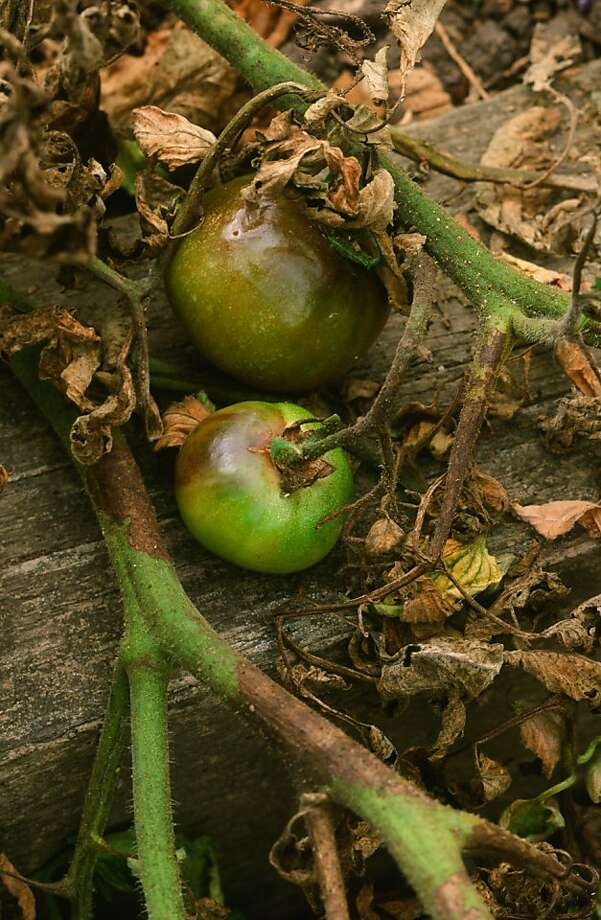 An advanced case of tomato late blight results in dying leaves and stems, shiny brown shoulders on fruit. Photo: Pam Peirce