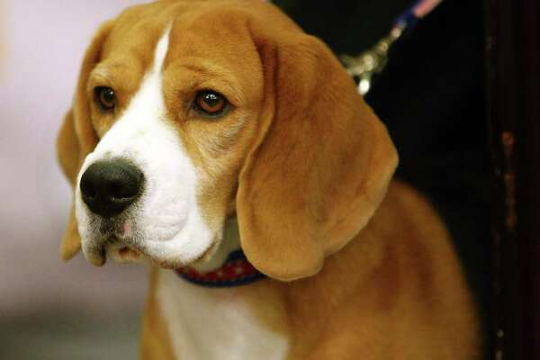 Uno, a beagle, was named Best in Show at the 2008 Westminster Dog Show.
