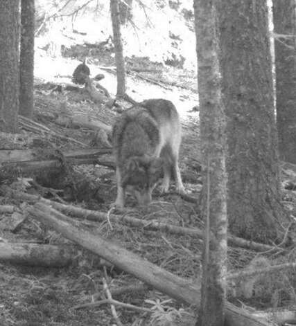 This Nov. 14, 2011 photo from a hunter's trail camera appears to show OR-7, the young male wolf that has wandered more than 1,000 miles across Oregon and Northern California looking for a mate and a new home. The Oregon Department of Fish and Wildlife reported GPS tracking collar data showed OR-7 crossed the border back into Oregon on Thursday, March 1, 2012, and was last shown in southeastern Jackson County. (AP Photo/Mail Tribune, Allen Daniels) Photo: Allen Daniels, Associated Press